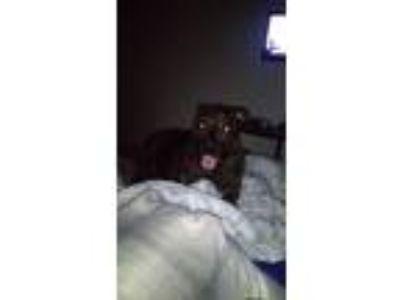 Adopt Bear a Brindle Mastiff / Mixed dog in Anaheim, CA (23938169)
