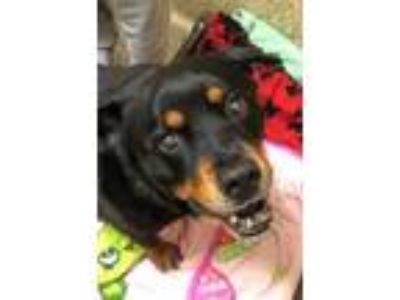 Adopt Mr Rogers a Black Rottweiler / Terrier (Unknown Type