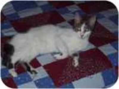 Adopt Axel a Gray, Blue or Silver Tabby American Shorthair (short coat) cat in