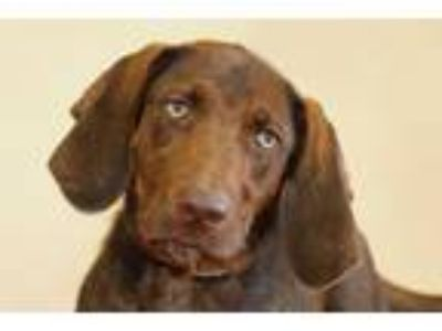 Adopt Stevie a Chocolate Labrador Retriever, Setter