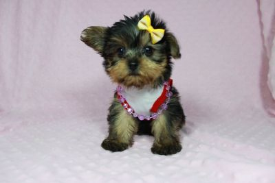Perfect Yorkie Puppies in Las Vegas!