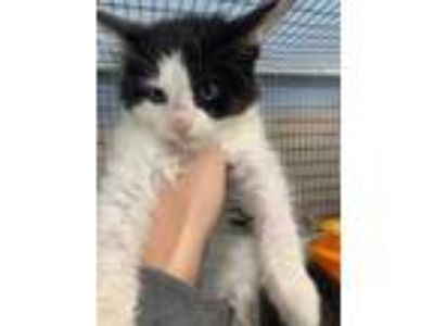 Adopt Pachinko a All Black Domestic Longhair / Domestic Shorthair / Mixed cat in