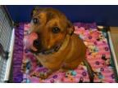 Adopt GARNET a Boxer, German Shepherd Dog