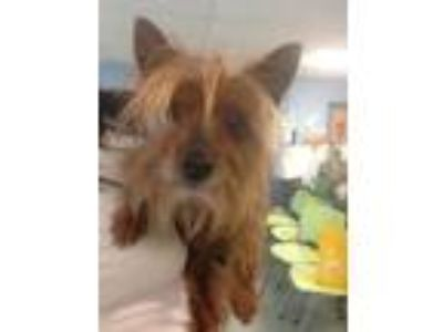 Adopt Jack Rusty a Yorkshire Terrier, Mixed Breed
