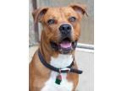 Adopt Rusty a Brown/Chocolate Rottweiler / Mixed dog in South Bend