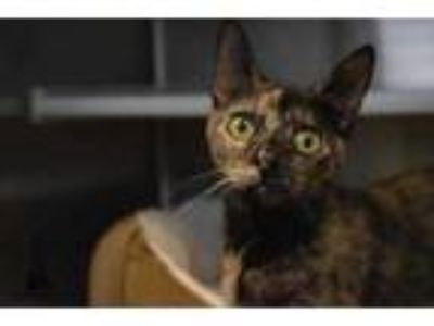 Adopt Cayenne a All Black Domestic Shorthair / Domestic Shorthair / Mixed cat in