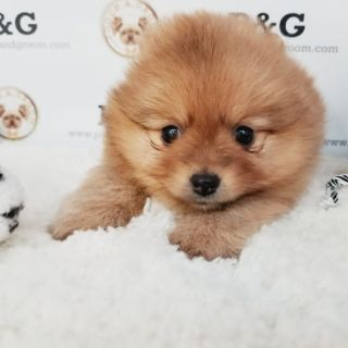 POMERANIAN - PINK - FEMALE