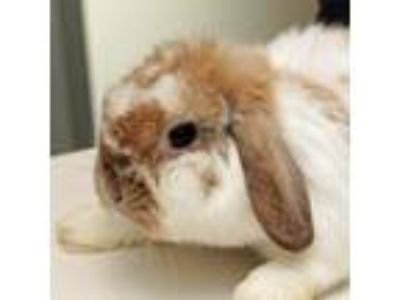 Adopt Everleigh a Lop, Holland rabbit in Middletown, RI (25531917)