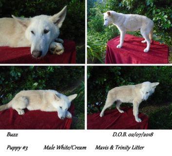 Wolf Hybrid PUPPY FOR SALE ADN-95149 - NorDogs Wolf Dog Buzz