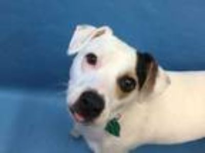 Adopt Ghost a White Jack Russell Terrier / Mixed dog in Coon Rapids