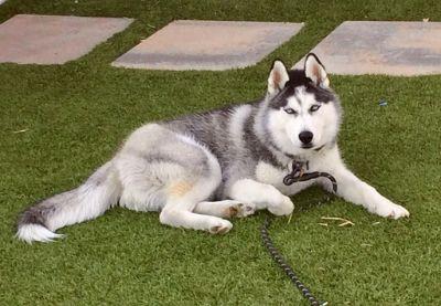 Siberian Husky PUPPY FOR SALE ADN-108249 - Beautiful Husky with Ice Blue Eyes
