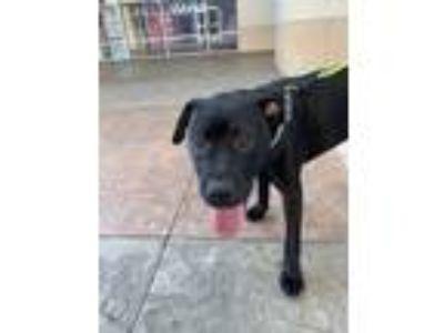 Adopt Gunner a Black Labrador Retriever dog in Conway, SC (25331620)