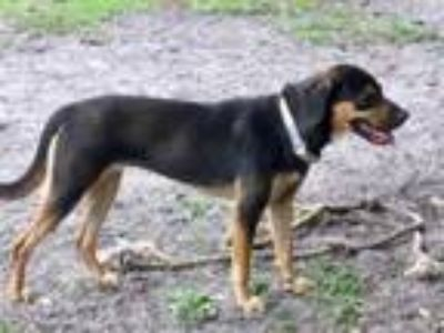 Adopt Kimberly Ann a Black and Tan Coonhound, German Shepherd Dog