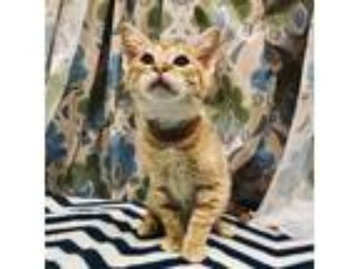 Adopt LEE a Orange or Red Tabby Domestic Shorthair / Mixed (short coat) cat in