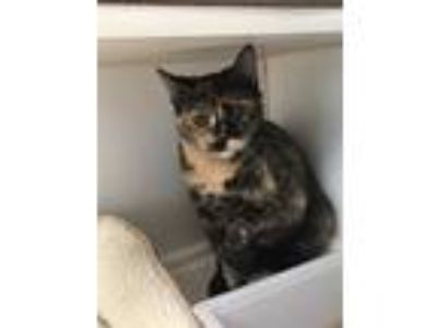 Adopt Violin Now Eleanor a Domestic Shorthair / Mixed cat in Stratham