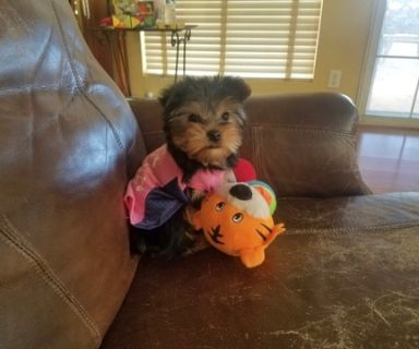 Yorkshire Terrier PUPPY FOR SALE ADN-108955 - Gorgeous Yorkie Girl