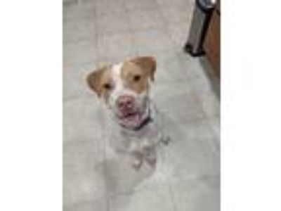 Adopt Jessie a Pit Bull Terrier / Mixed dog in Laingsburg, MI (25889556)