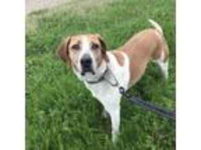 Adopt Nick a Tan/Yellow/Fawn Hound (Unknown Type) dog in Natchitoches