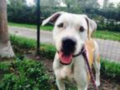 Adopt Buttercup Rose a Pit Bull Terrier, Labrador Retriever