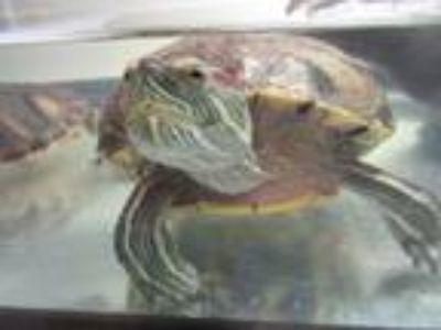Adopt Sonny and Shelly a Yellow-Bellied Slider, Turtle
