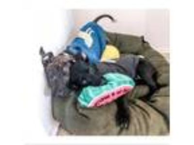 Adopt Denahi a Dutch Shepherd, German Shorthaired Pointer