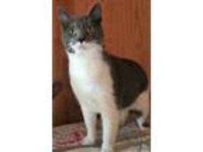 Adopt Snoopy a Gray or Blue (Mostly) Domestic Shorthair (short coat) cat in