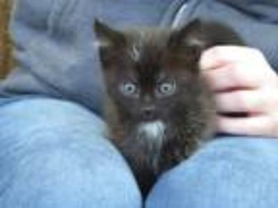 Adopt Harrison a Black (Mostly) Domestic Shorthair (short coat) cat in