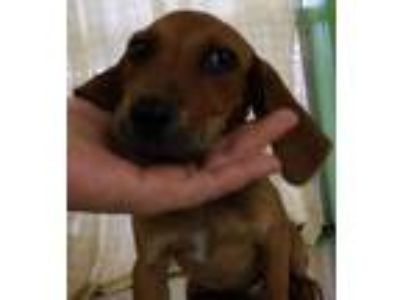 Adopt Jada a Red/Golden/Orange/Chestnut Hound (Unknown Type) / Mixed dog in