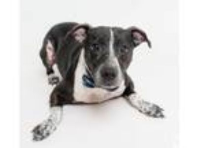 Adopt Chase a Cattle Dog, Border Collie