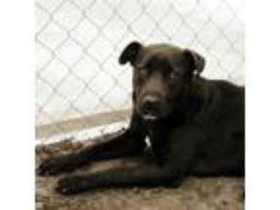 Adopt Arnie a Black Labrador Retriever / Mixed dog in Georgetown, SC (24230783)