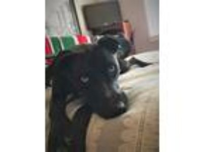 Adopt Kitten Aka Molly Selene a Black - with Gray or Silver Labrador Retriever /