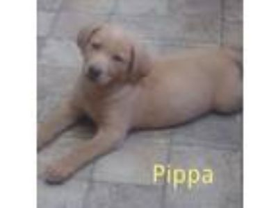 Adopt Pippa a Labrador Retriever, Golden Retriever