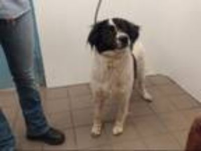 Adopt OREO a Border Collie, Mixed Breed