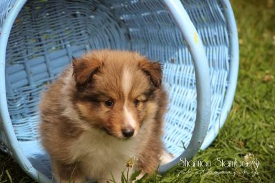 Sailor: Male Shetland Sheepdog