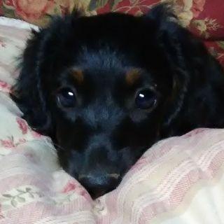 Dachshund PUPPY FOR SALE ADN-81406 - AKC Dachshound Puppies for sale