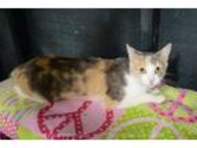 Adopt Maison Blanche a Domestic Shorthair / Mixed (short coat) cat in New