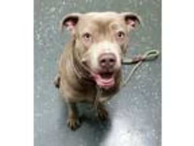 Adopt SAGE 38061 a Pit Bull Terrier