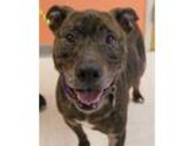 Adopt Andrew a Black American Pit Bull Terrier / Mixed dog in Portage