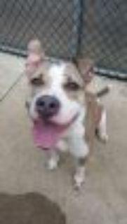 Jazzie Pit Bull Terrier Dog