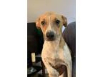 Adopt Jason - Local July 27 28 a Jack Russell Terrier, Terrier