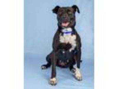 Adopt Zoey a Black Border Collie / Mixed dog in Woodinville, WA (25928854)