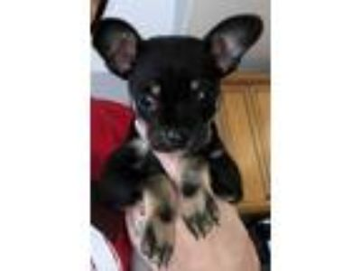 Adopt Croissant a Black - with White Terrier (Unknown Type