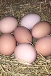 Fresh Chicken Eggs