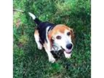 Adopt Callaway a White - with Tan, Yellow or Fawn Beagle dog in Helena