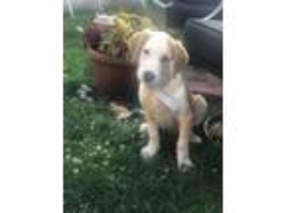 Adopt More Puppies - available July 14th! a Labrador Retriever, Collie