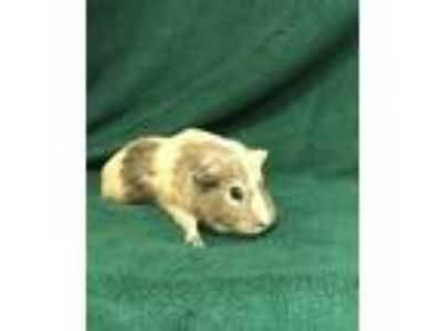 Adopt Molly a Red Guinea Pig / Guinea Pig / Mixed small animal in Tampa