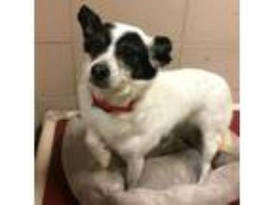 Adopt Oreo a Terrier, Mixed Breed