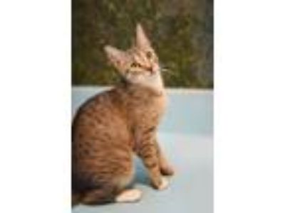 Adopt Princess with Binky a Domestic Short Hair