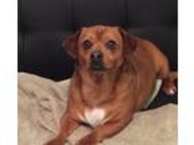 Adopt Scooby a Red/Golden/Orange/Chestnut Dachshund / Pug / Mixed dog in