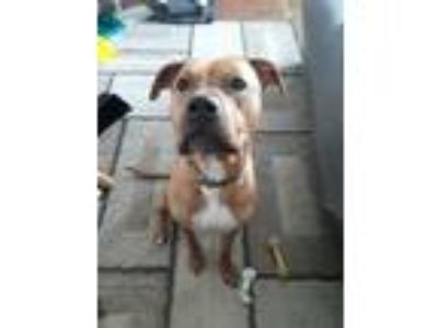Adopt Kujo a Tan/Yellow/Fawn American Pit Bull Terrier dog in Clairton